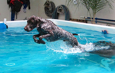 Fun Swim Two Hands Four Paws German Shorthaired Pointer Dog