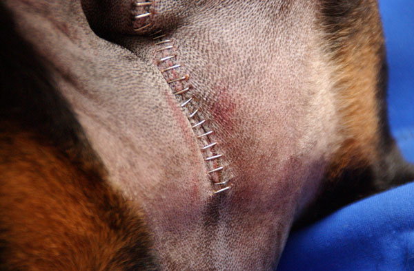 Spinal Surgery Canine Herniated Disc at Two Hands Four Paws