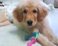 Maverick the paralyzed Puppy with Pacifier
