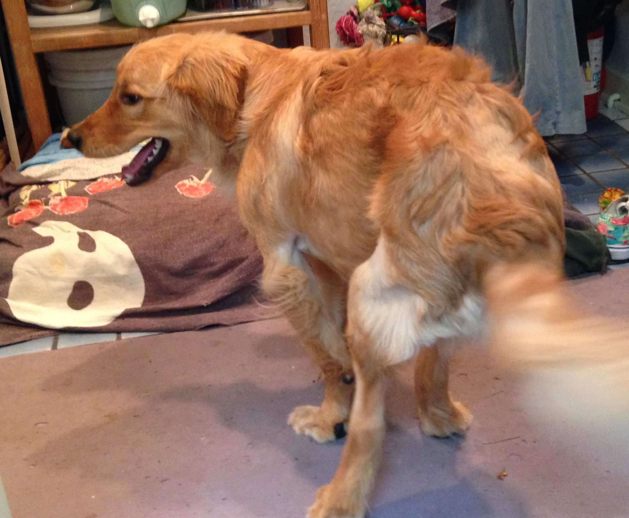 Canine physical therapy - And On The 70th Day He Walked Backwards